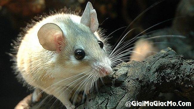 Ngủ mơ thấy chuột