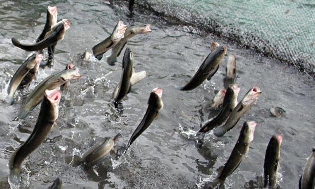 Nằm mơ thấy bắt được cá lóc đánh con số mấy, là điềm báo gì?