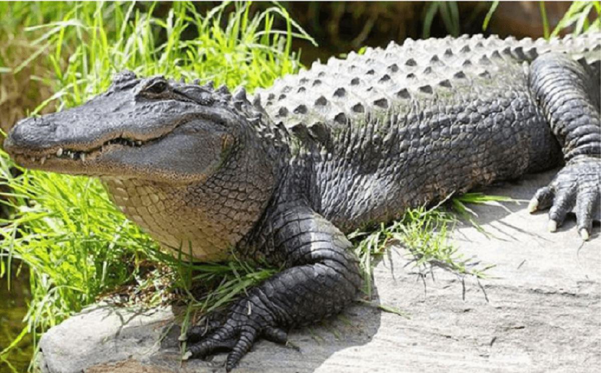 Mơ thấy cá sấu rượt đuổi