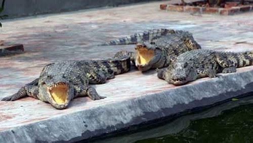 Nằm mơ thấy bắt được cá sấu đánh con gì