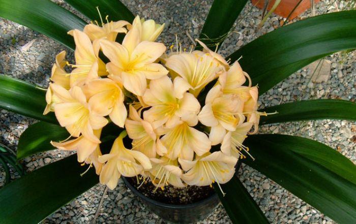 Hoa của cây Lan Quân Tử màu vàng rất hợp với người mệnh Thổ