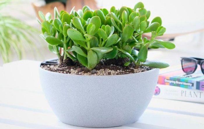 Nếu đặt cây Ngọc Bích ở vị trí phù hợp trong nhà sẽ đem lại sức khỏe và may mắn cho gia chủ