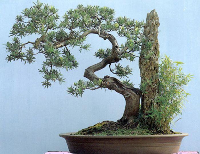 Khả năng sống bền bỉ của cây Tùng La Hán biểu trưng cho sự phồn vinh